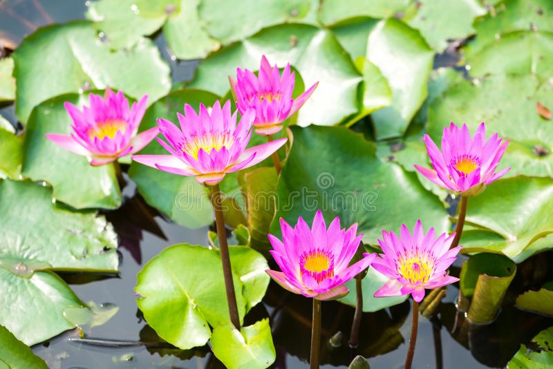 Waterlelie, Lotus of Waterlily-bloem in pool stock fotografie