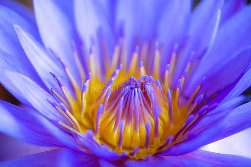 Waterlelie, Lotus of Waterlily-bloem in pool royalty-vrije stock afbeelding