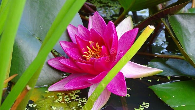 waterlelie roze versheid stock foto