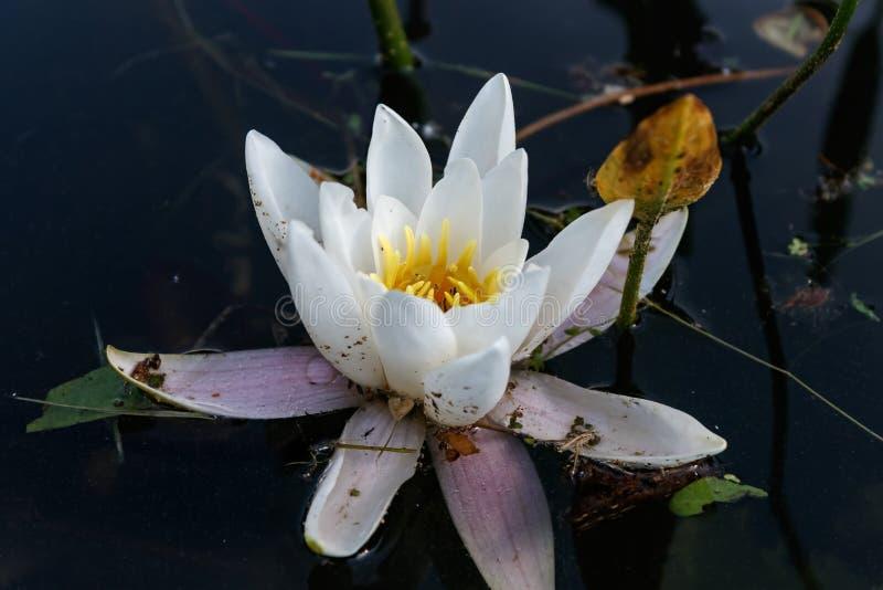 Waterlelie in volledige bloei stock afbeelding