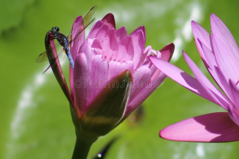 Waterlelielibel stock foto's