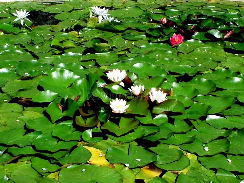 Waterlelies royalty-vrije stock fotografie