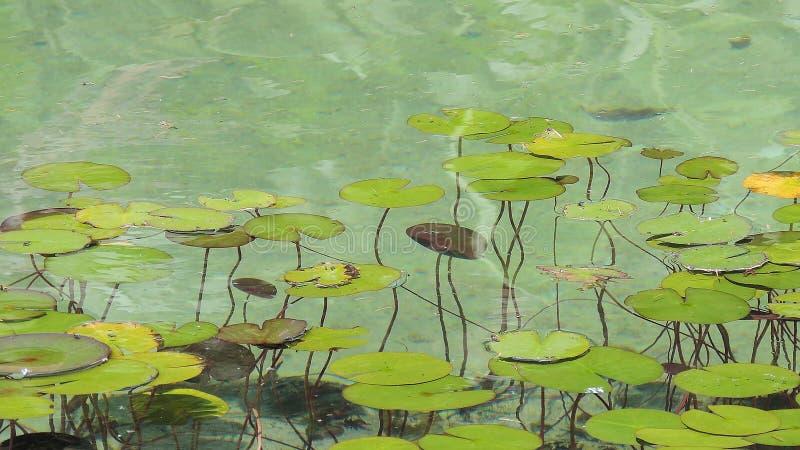 Waterlelies in een Vijver royalty-vrije stock afbeeldingen