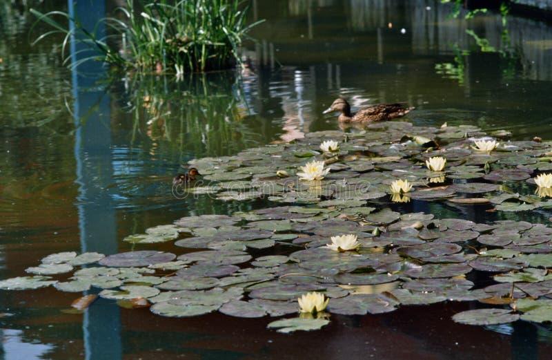 Waterlelies en Eenden in een Vijver stock afbeeldingen