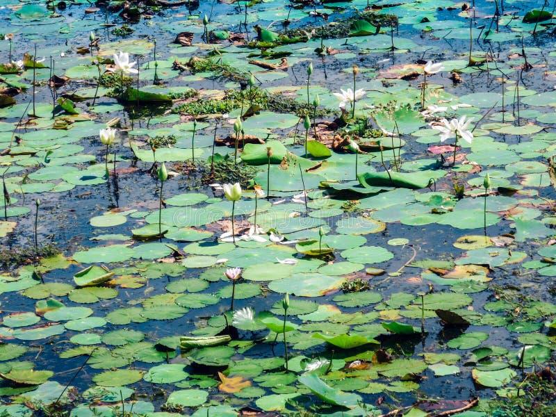 Waterlelies in het meer van het nationale park van Yala, beroemdste wild het levenspark van Sri Lanka stock foto's