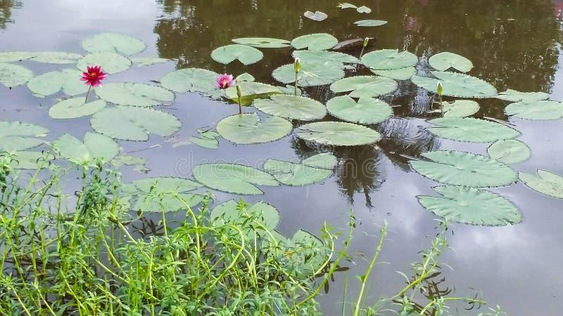Waterlelies op de vijver in de bloesem royalty-vrije stock afbeeldingen