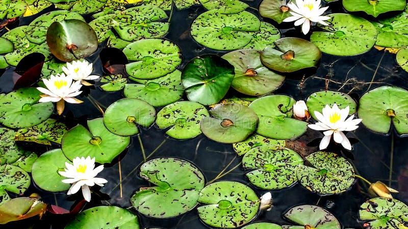 Waterlelies in vijver stock foto's