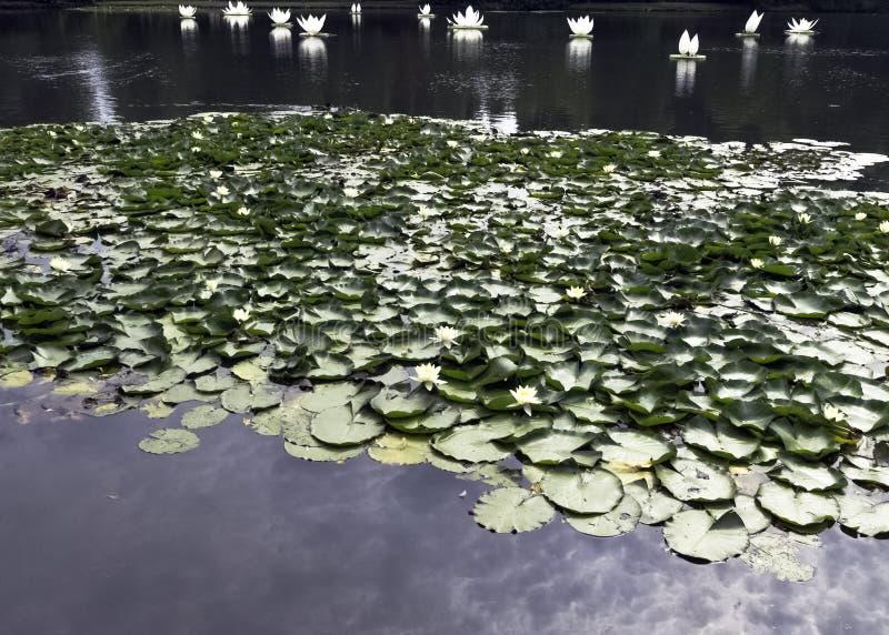 Waterleliesnymphaeaceae of leliestootkussen in Shefield-Meer, Uckfield, het Verenigd Koninkrijk royalty-vrije stock foto