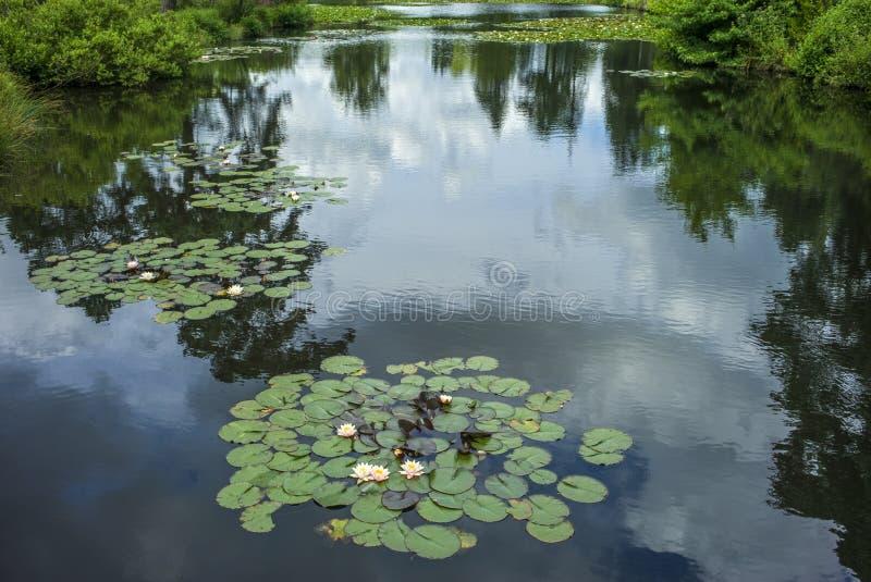Waterleliestootkussens op meer royalty-vrije stock foto's
