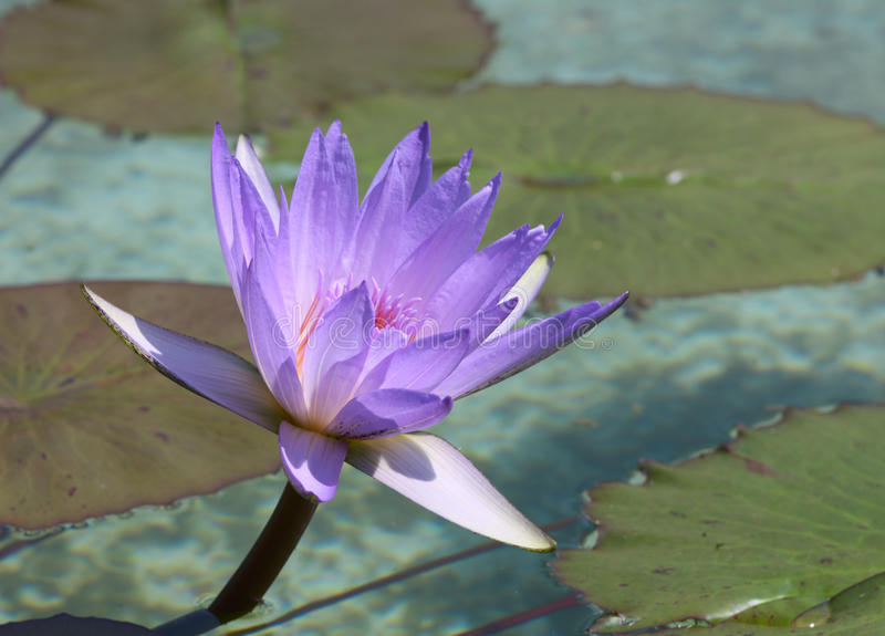 Waterlilia flower. Bright blue water lilia flower in pond royalty free stock photography