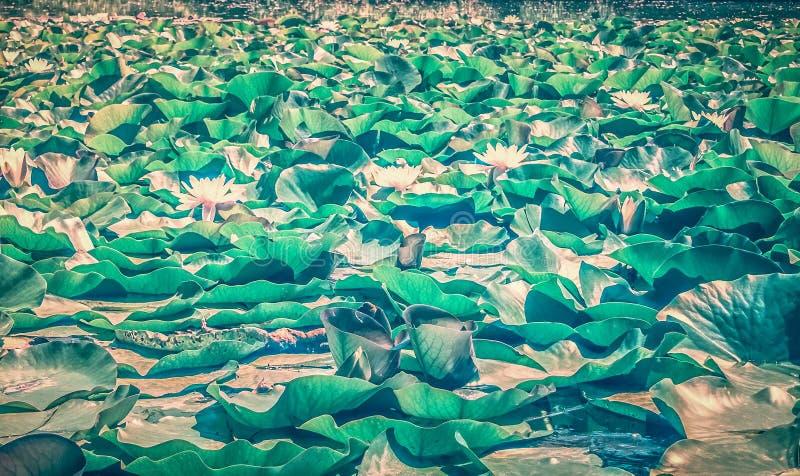 waterlilies 库存照片