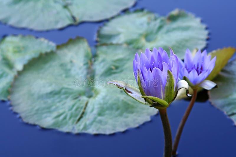 waterlilies obraz stock