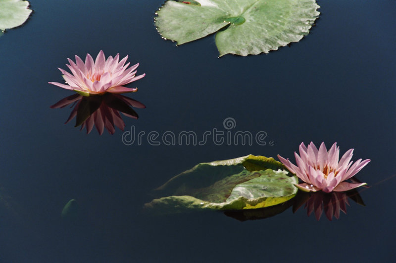 Download Waterlilies Stock Photos - Image: 521883