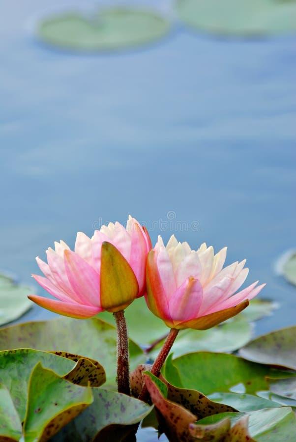 Waterlilies fotos de stock royalty free