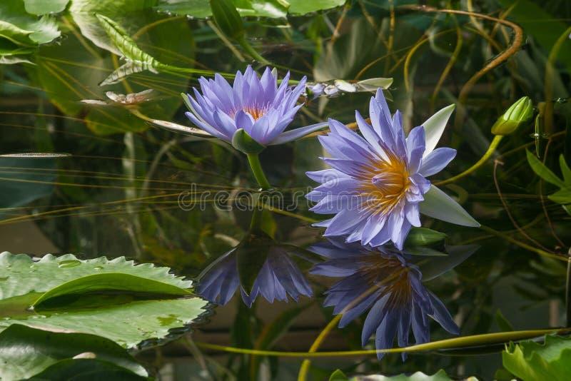 waterlilies lizenzfreie stockfotografie