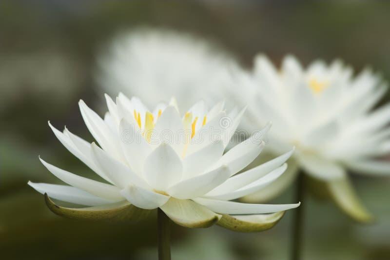 Waterlilies photos libres de droits