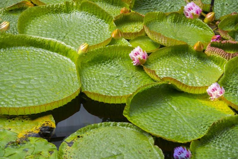 waterlilies 库存图片