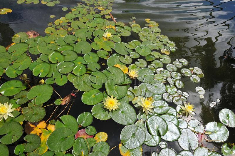 Waterlilies at Balboa Park - Yellow Blooms with Leaves Nymphaea stock photo