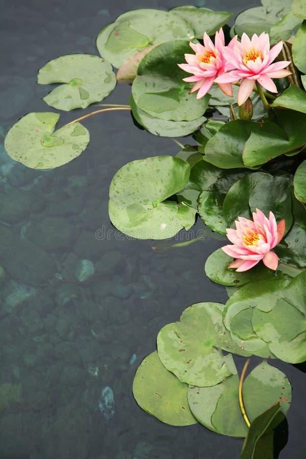 Download Waterlilies bonitos foto de stock. Imagem de colorido - 12800524