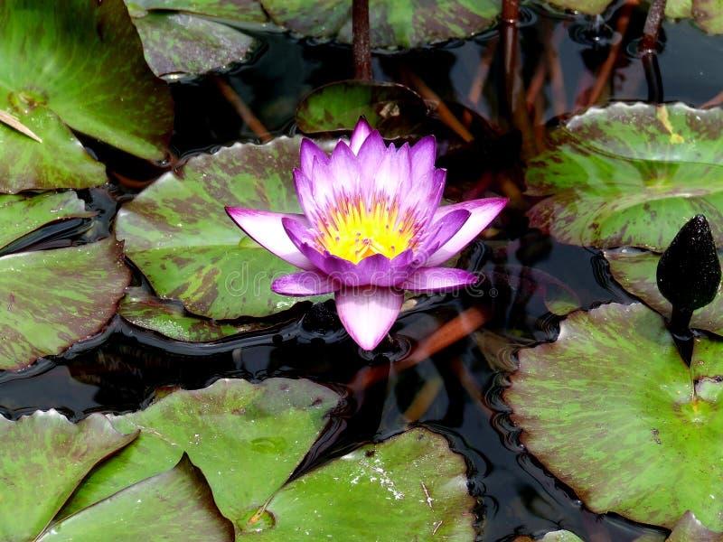Waterlilies dans l'étang de Koi images stock