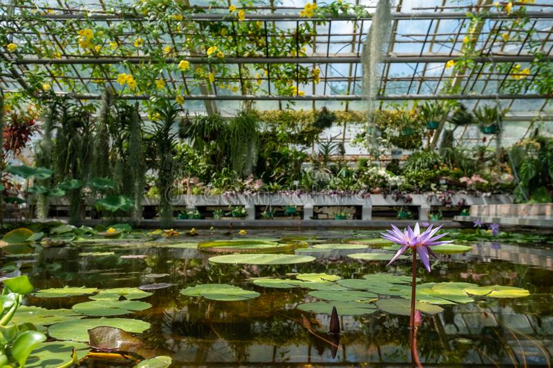Waterlilies In The Greenhouse At The Botanic Garden Of The Jagiellonian University In Krakow Old Town Poland Stock Image Image Of Copernicus Botany 152587083