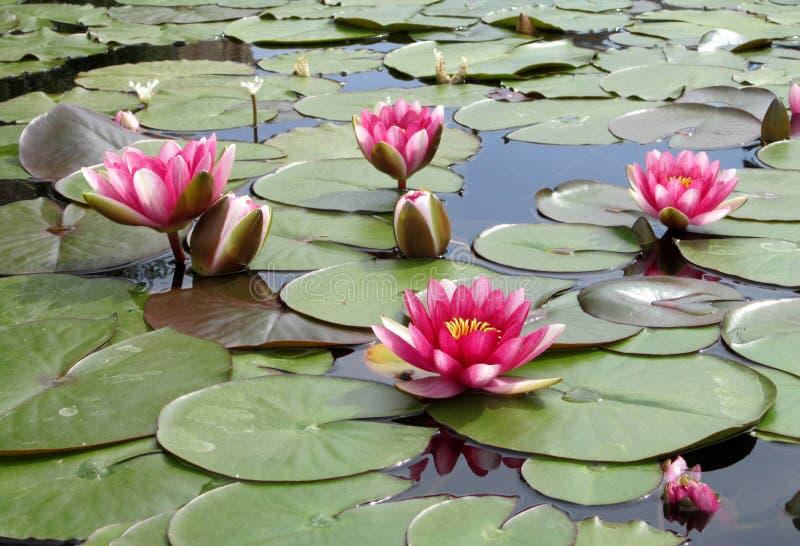 Waterlilies i springbrunnen royaltyfria bilder