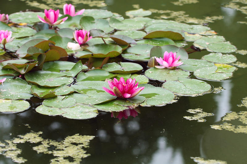 This waterlilies or lotuses flowers of the water surface Botanic royalty free stock photos