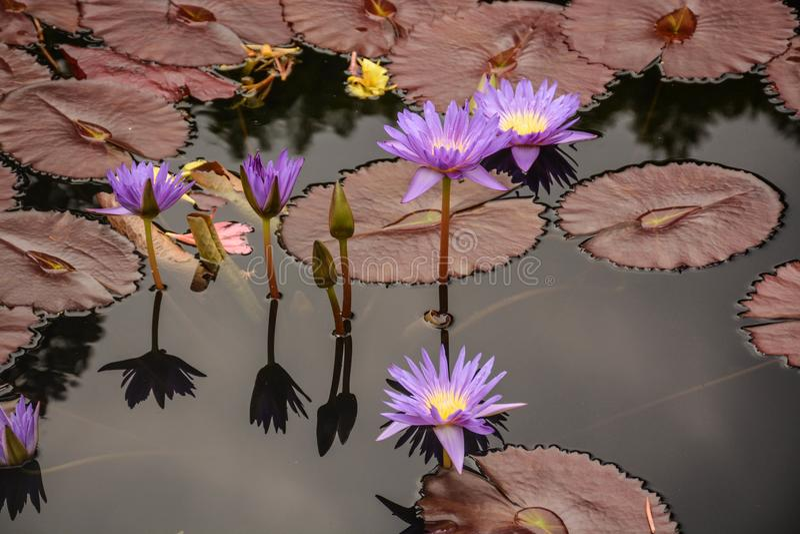 Waterlilies púrpura brillante en la charca foto de archivo libre de regalías