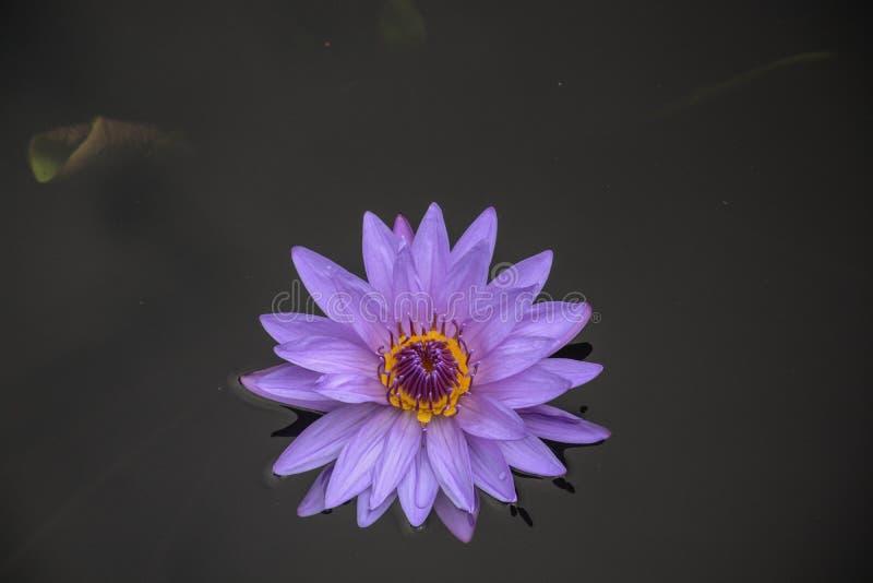Waterlilies púrpura brillante en la charca foto de archivo
