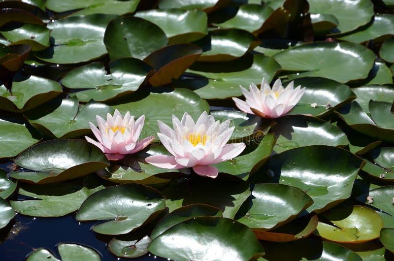 Waterlilies que florece sobre el detalle del pequeño lago imagen de archivo