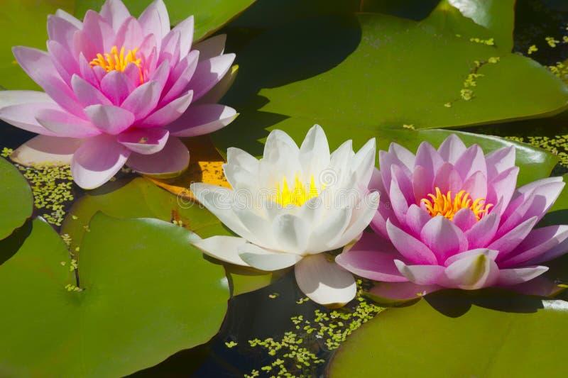 Download Waterlilies Rosado Y Blanco Imagen de archivo - Imagen de charca, flores: 100534405