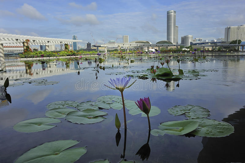 Waterlilies in Singapur lizenzfreie stockbilder