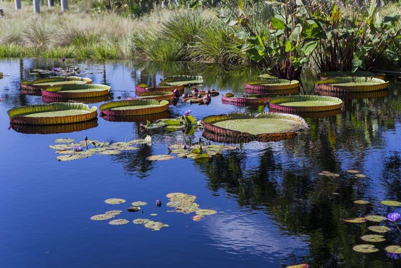 Waterlilies w ogródzie botanicznym w Naples, Floryda, usa fotografia stock