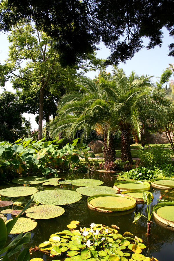 Waterlillies在池塘。 免版税库存照片