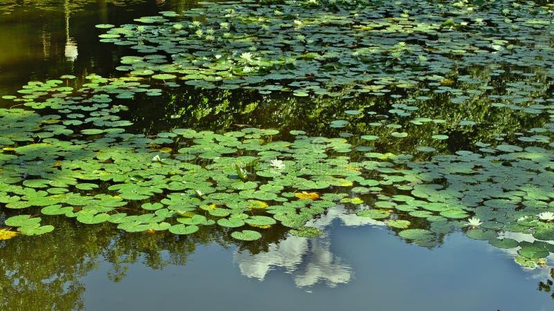 Waterlillies在蒂尔加滕 免版税库存照片