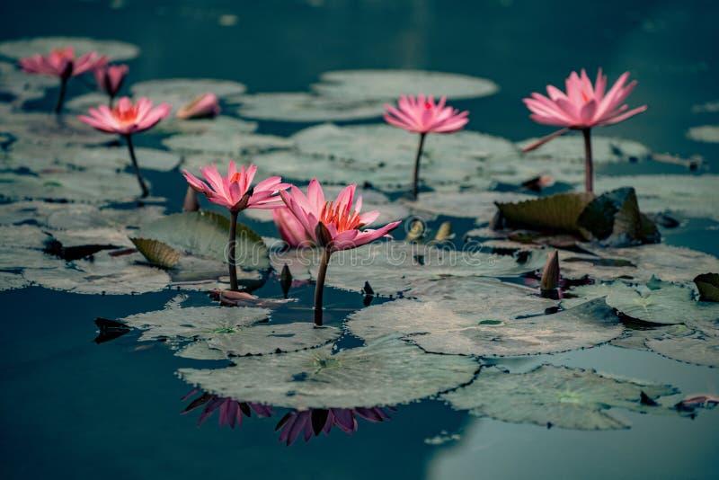 Waterlillies在越南装饰水 库存图片