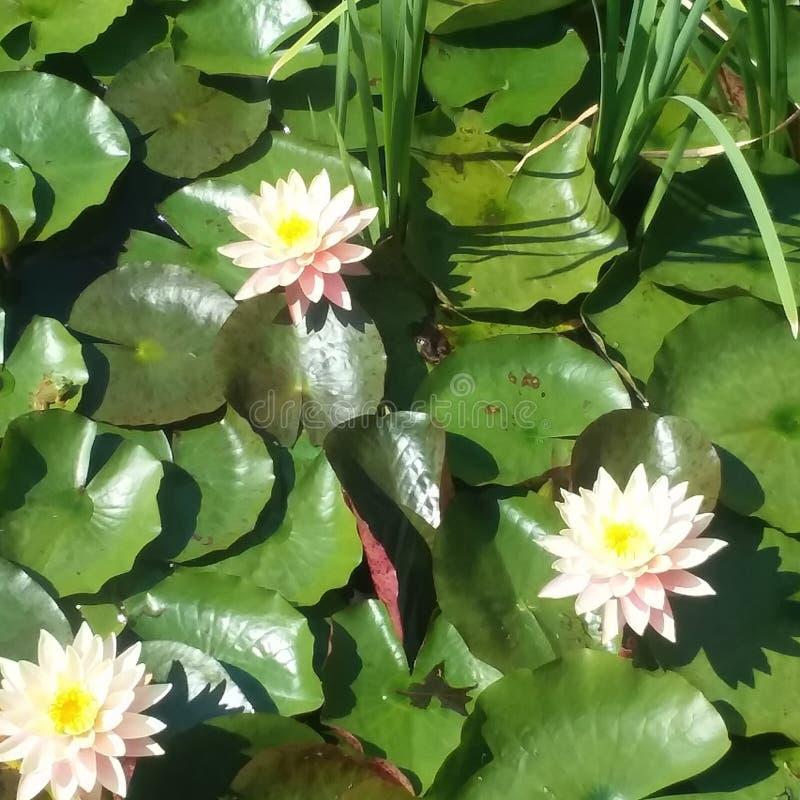 Waterlillies 库存照片