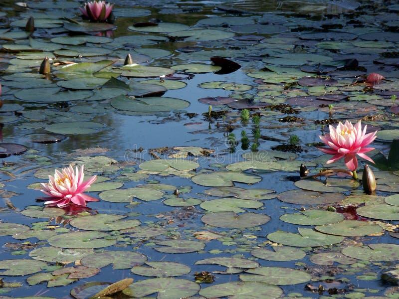 waterlillies 免版税库存照片