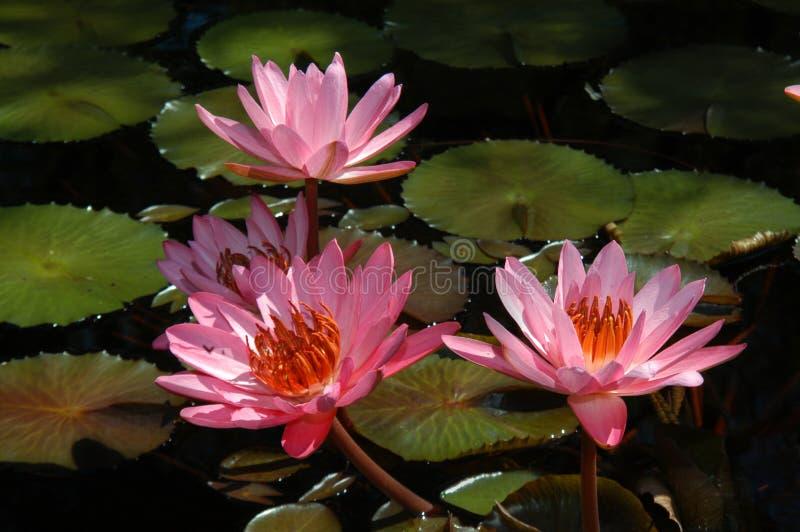 Waterlillies de Birmingham Botanicals imagens de stock royalty free