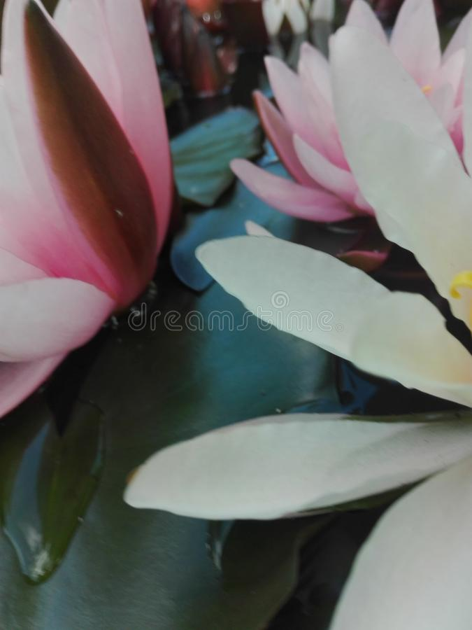 Waterlilly royaltyfria foton