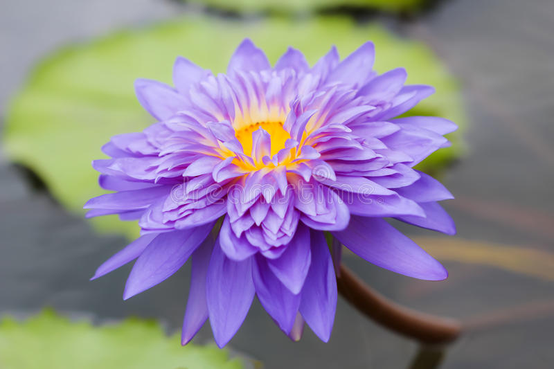 Waterlilly en lotusbloem stock foto's