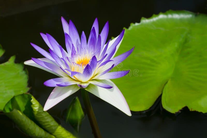 Waterlilly en lotusbloem royalty-vrije stock fotografie
