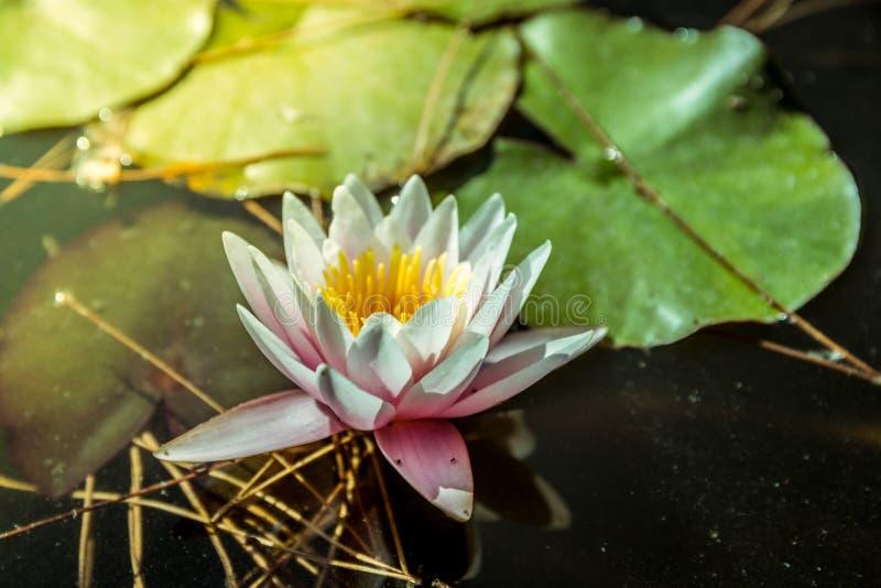 Waterlily在庭院池塘用淡黄色水 库存图片