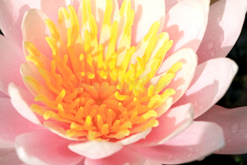 waterlily粉红色 库存照片