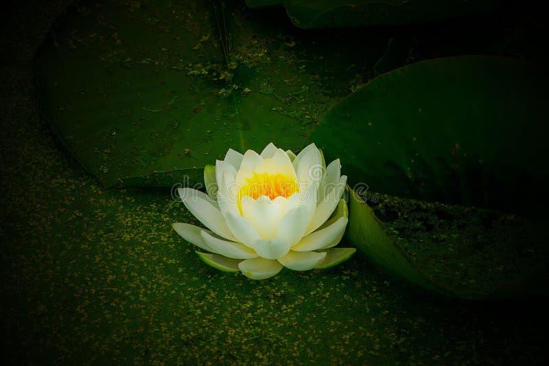 Waterlily装饰水生植物 库存照片