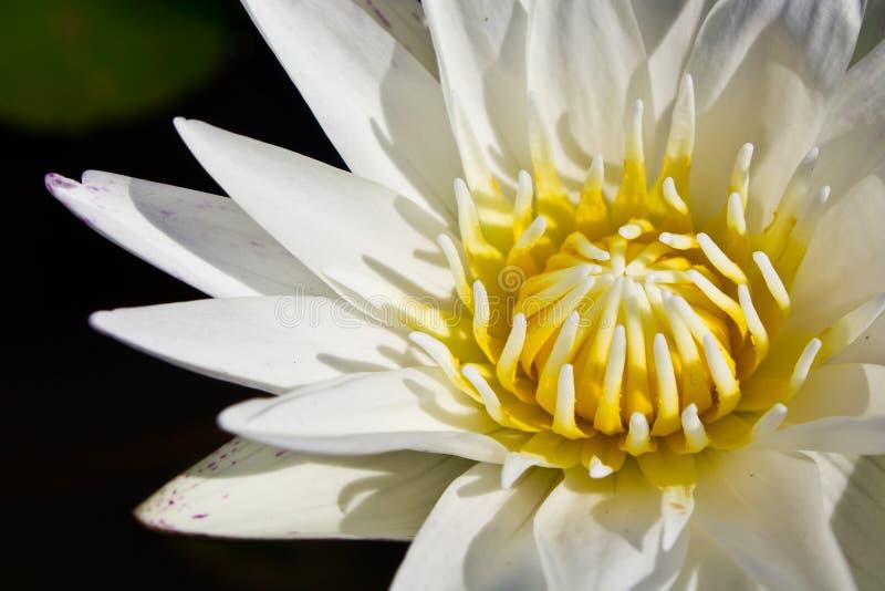 Download Waterlily λευκό στοκ εικόνα. εικόνα από άσπρος, εξωτικός - 17058135