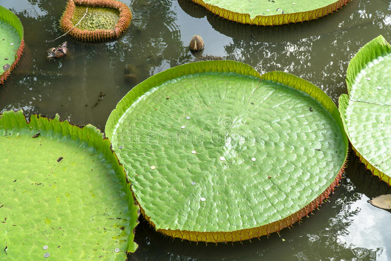 waterlily维多利亚的巨型叶子水池的 库存照片