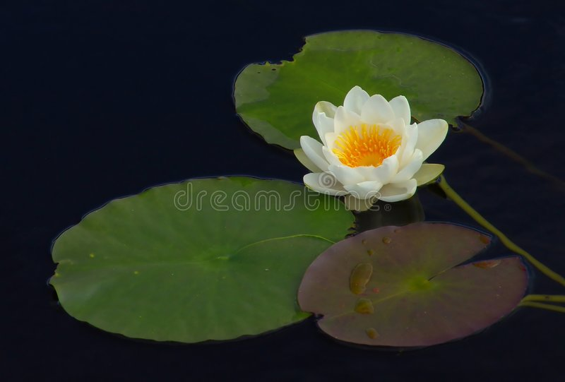 Download Waterlily stock photo. Image of pond, green, waterlily, graceful - 9832