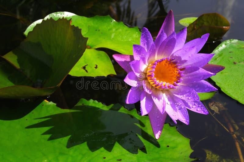 Waterlily imagem de stock royalty free