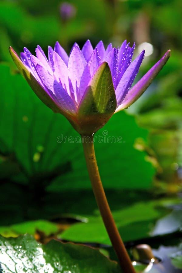 Waterlily fotografia stock libera da diritti